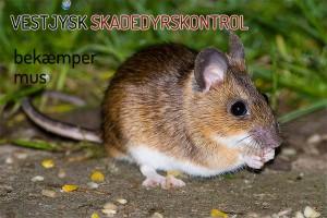 Musebekæmpelse - VJSK fjerner musene i dag - ring 22 19 12 69 hele døgnet