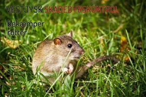 Rotte - rottebekæmpelse hos VJSK