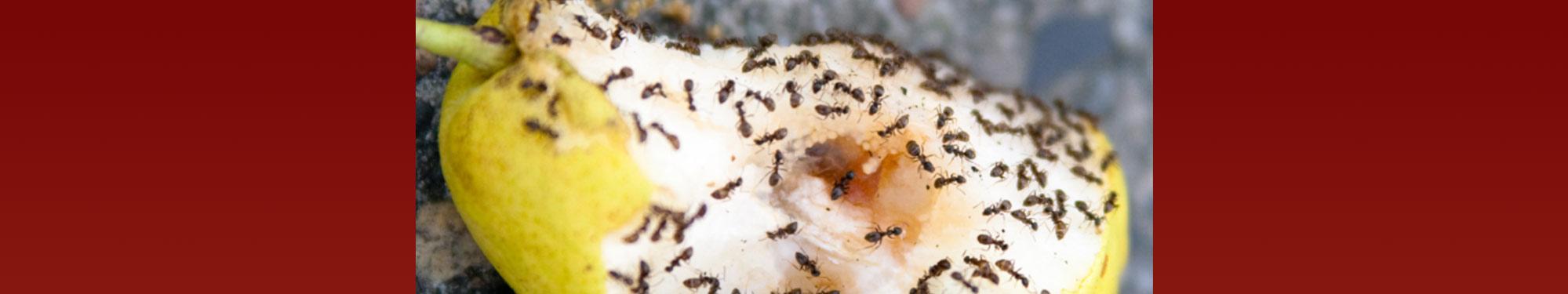 Myrer - vi bekæmper myrer effektivt