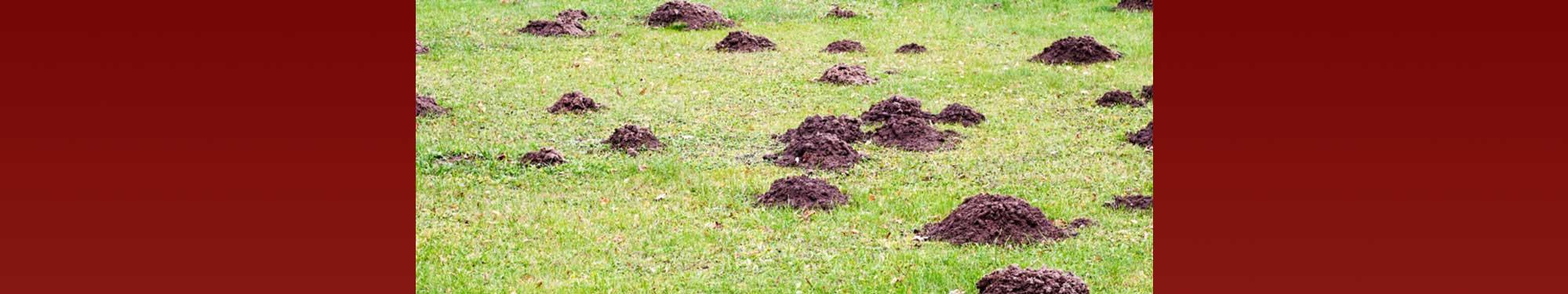 Muldvarpeskud - professionel bekæmpelse af muldvarper